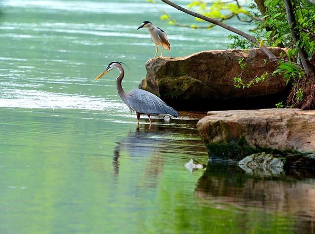 Free great blue herons niagara river wading birds water