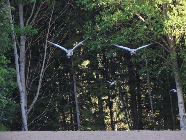 Free cranes pigeons natural sweden