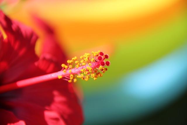 Free flower red hibiscus malvaceae macro stamens plant