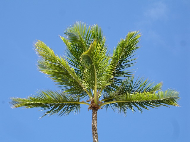 Free palm palm tree sky blue dominican republic