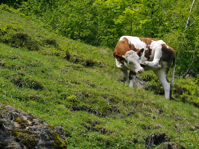 Free cow austria alm scratching rearing young animal