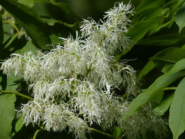 Free tree flower white manna ash fraxinus ornus