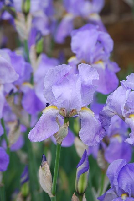 Free iris plant flower summer bloom garden flowers