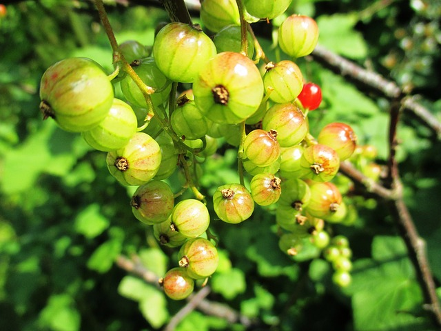 Free berries garden currant ribes rubrum food soft fruit