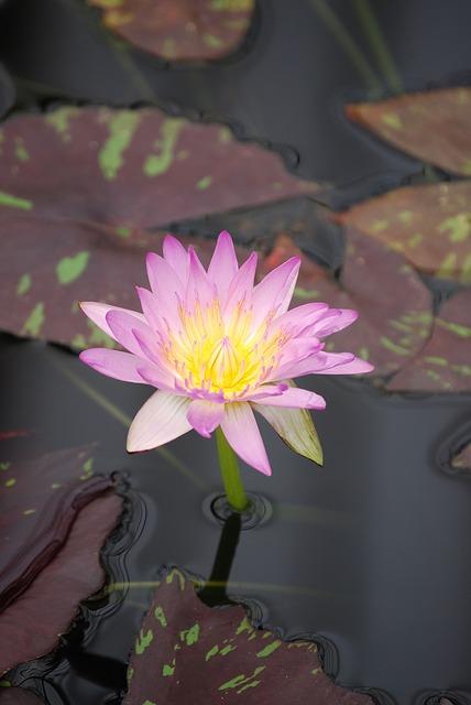 Free water lily flower pond aquatic purple water bloom