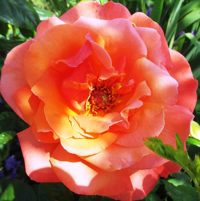 Free rose flower fragrance beauty color multi coloured