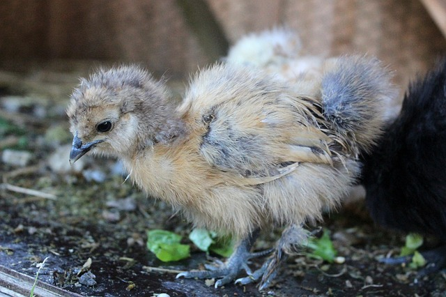 Free Photos: Chicken agriculture fluff chicks | kathrin_