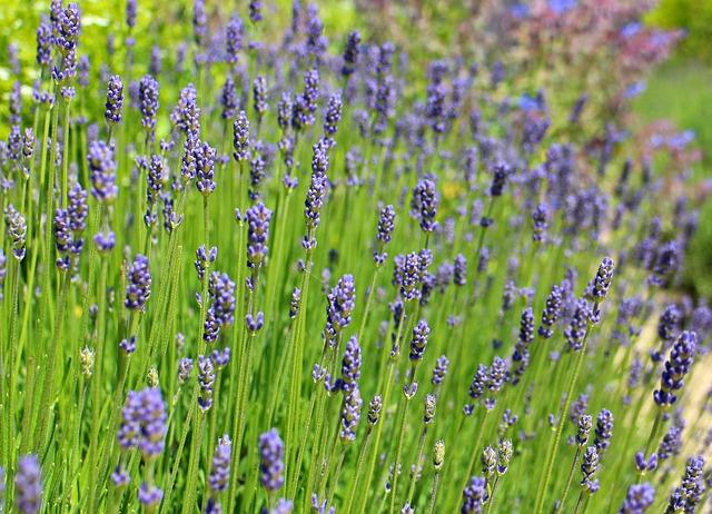 Free lavender lavender flowers purple violet