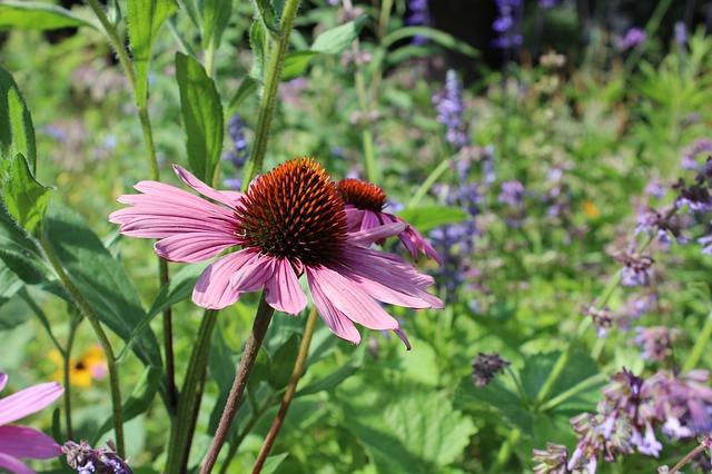 Free sun hat flower plant nature pink garden