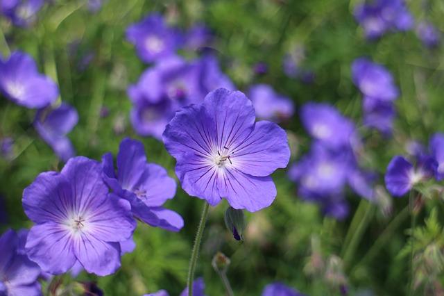 Free blue geranium cranesbill blue flower pointed flower