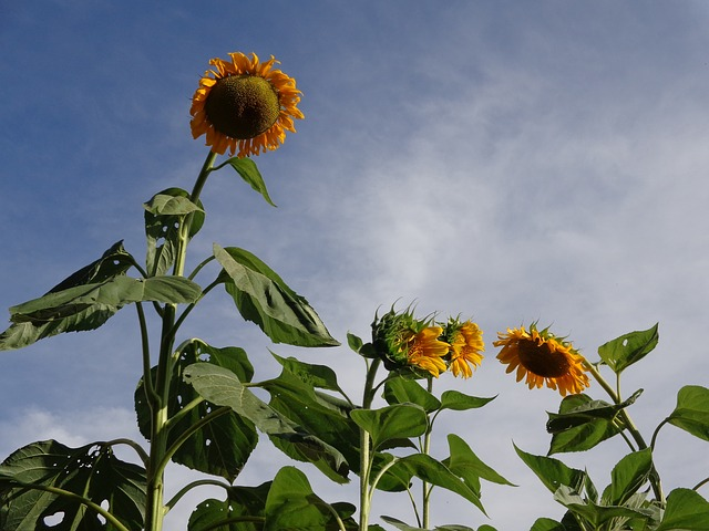 Free cute suns flowers plant