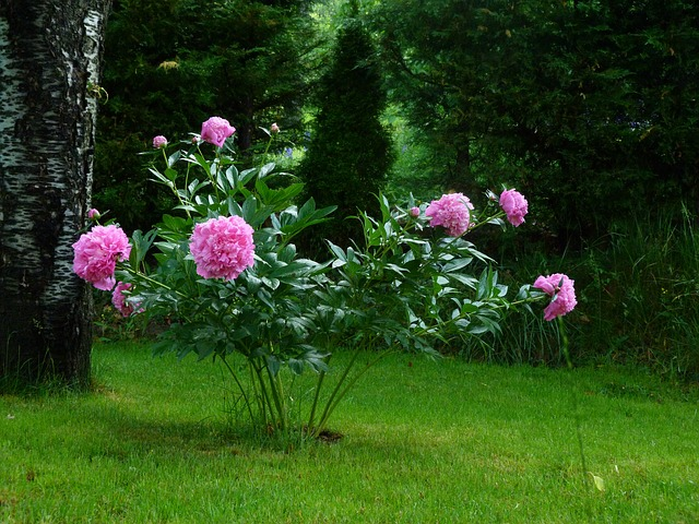 Free flowers nature garden peony rose blossomed petals