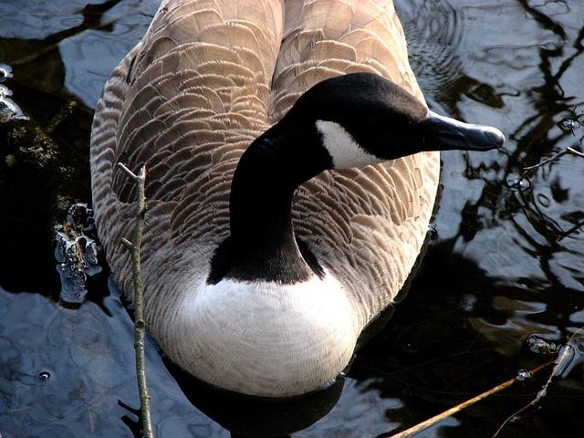 Free canada goose water swim bird water bird