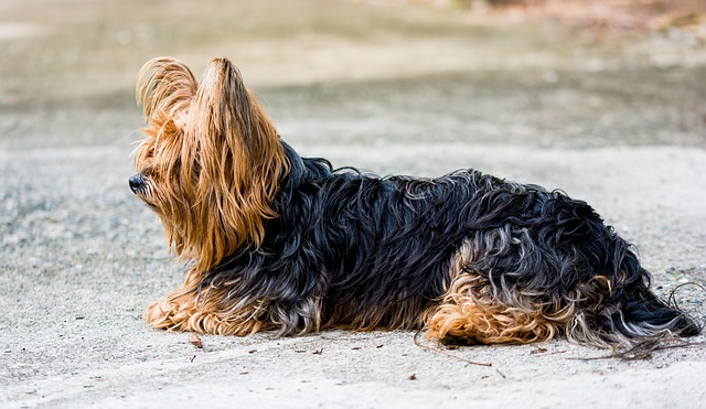 Free yorkshire terrier terrier dog small dog fur