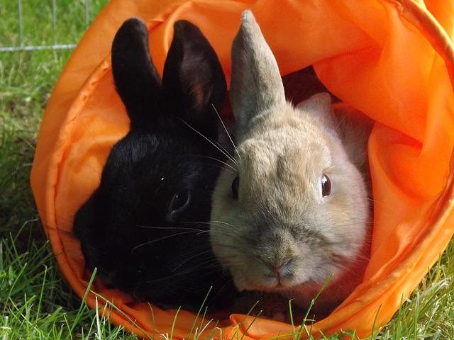 Free rabbit munchkins pets