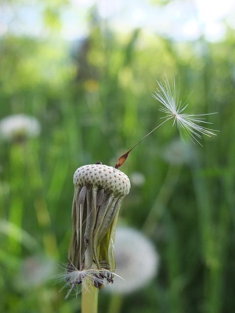 Free dandelion seeds meadow flower faded multiplication