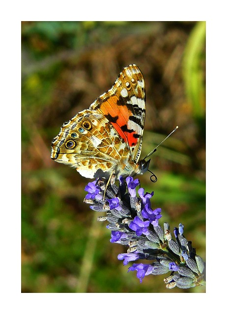 Free painted lady butterfly butterflies edelfalter