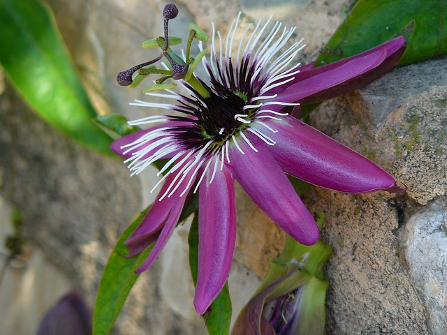 Free passion flower flower bloom plant purple exotic