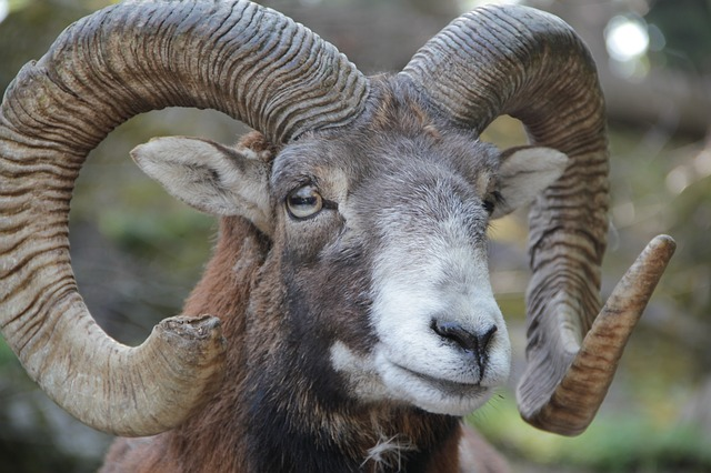 Free animal horn horns mouflon european mouflon