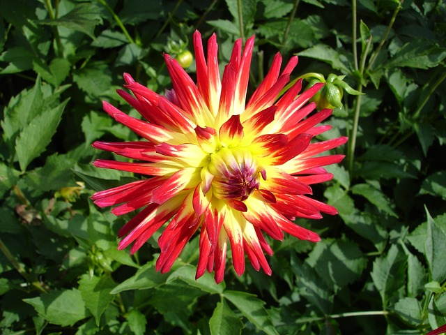 Free Photos: Dahlia flower red dahlias plant flower garden | Michael Mosimann