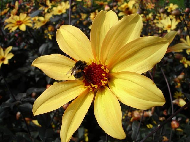 Free dahlia flower plant dahlias nature hummel