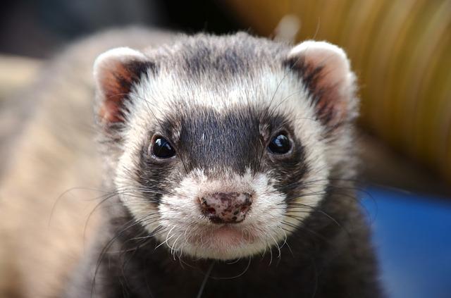 Free ferret animal eyes close