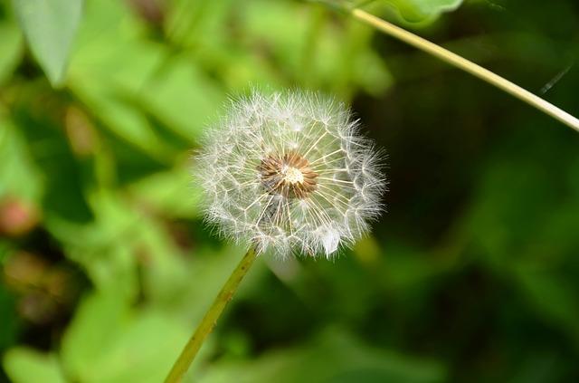 Free dandelion seeds multiplication flower nature close