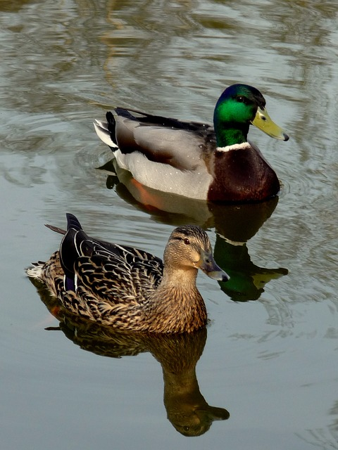 Free the duck ishd pond birds water the level of the