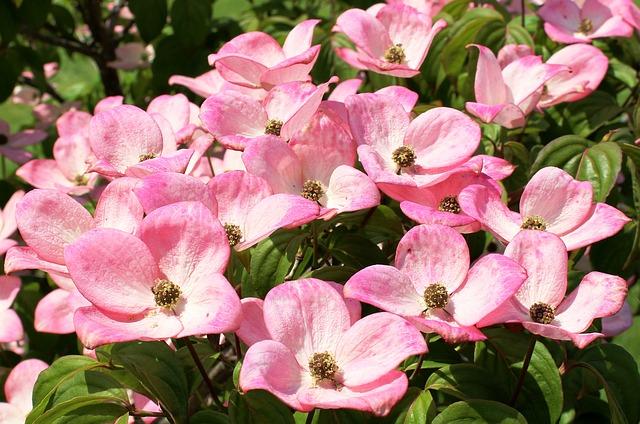 Free               dogwood flowers pink cornus cornus kousa