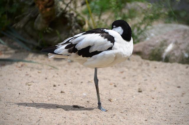 Free avocet bird water bird recurvirostra avosetta