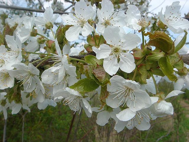 Free fruit tree spring flowers white garden