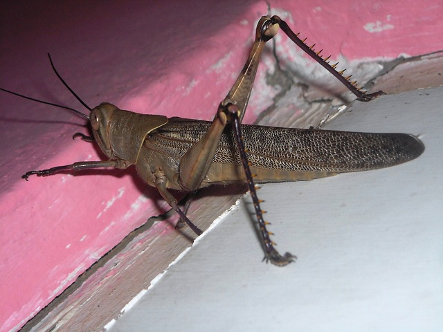 Free grasshopper brown animals insects