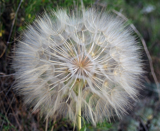 Free flower dandelion nature white plant foreground