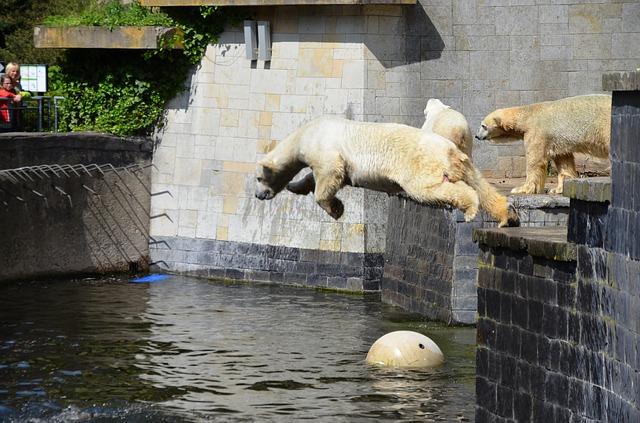 Free polar bear jump pike jump water ursus maritimus