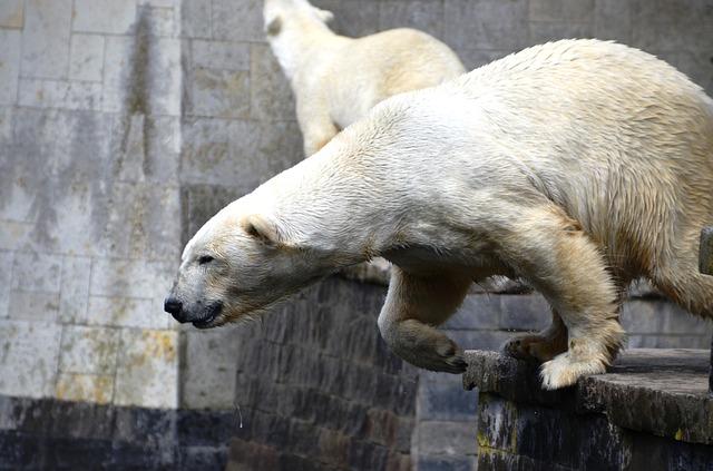Free polar bear jump ursus maritimus predator kind bear