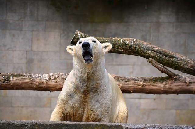 Free polar bear roar growl ursus maritimus predator kind