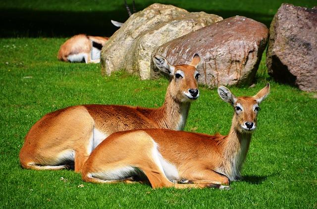 Free antelope lychee marsh antelopes lechwe kobus leche