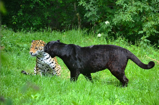 Free panter leopard black spotted pets