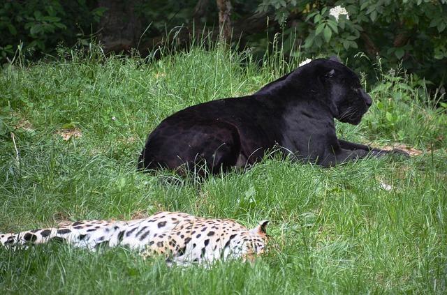 Free panter leopard pets