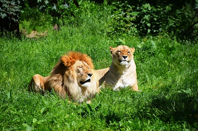 Free Photos: Lion wild animals animal couple | Daniel Steinke