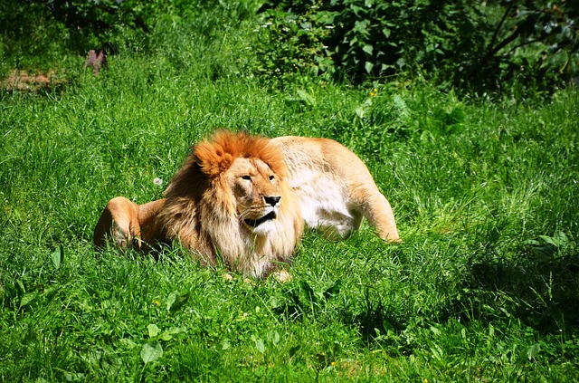 Free lion wild animals animal pair