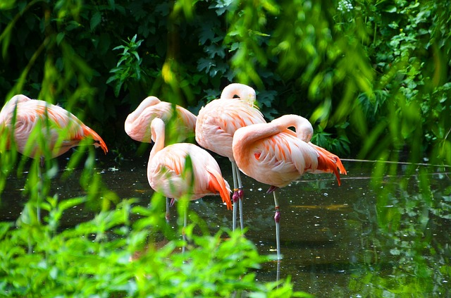 Free flamingos pets water