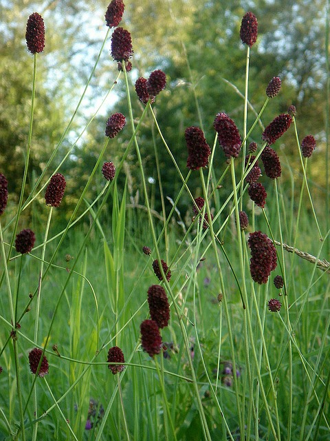 Free meadow flower in the grass spring brown cone