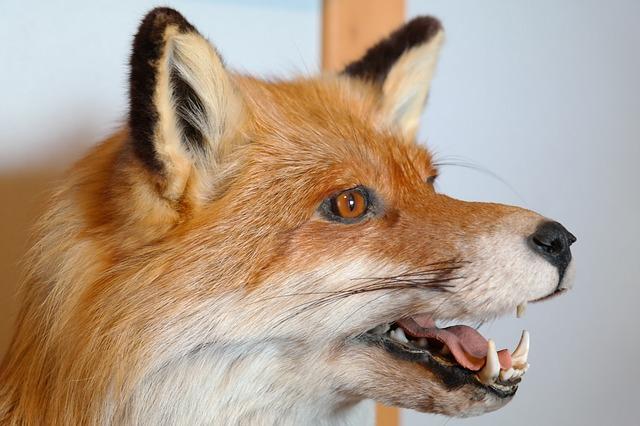 Free fuchs animal portrait stuffed hunting tooth