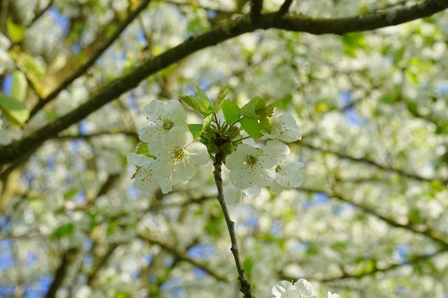 Free cherry blossom flower cherry white road flowers