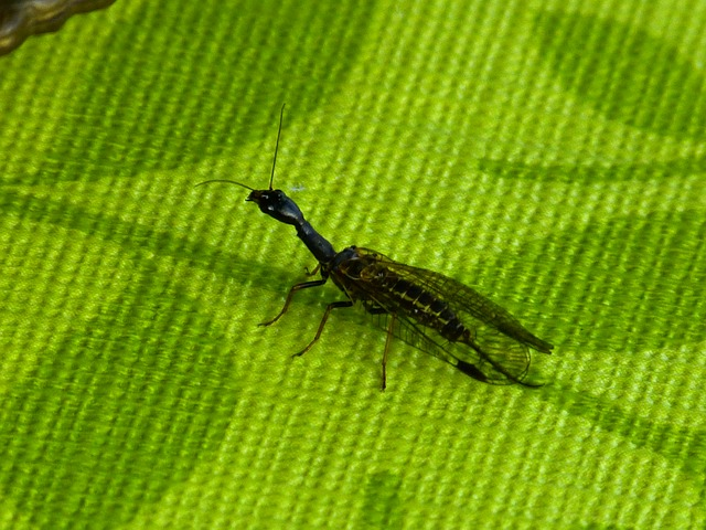 Free kamelhalsfliege insect animal long jibe sczwarz