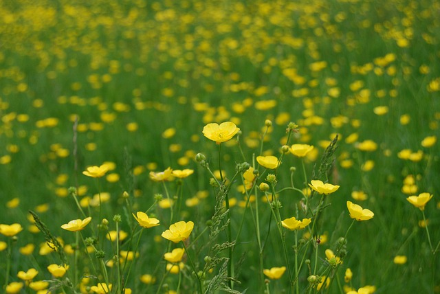 Free buttercup ranunculus meadow yellow wild
