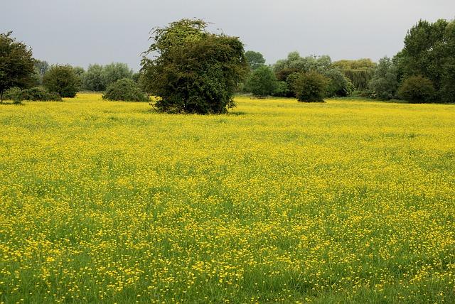 Free buttercup ranunculus meadow yellow wild