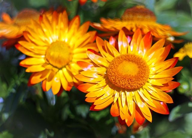 Free italicum straw flowers flowers flower gold yellow