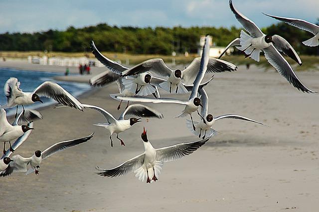 Free black headed gulls larus ridibundus waterfowl beach